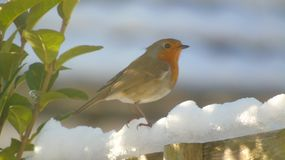 coulorfull winters robin red brest Royalty Free Stock Photography