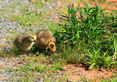 On the count of 3....-goslings royalty free stock photo