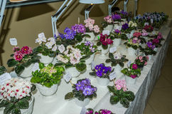 Counter with colored flowers blooming violets in pots, lighted lamps at the exhibition in Lviv, Ukraine Stock Images