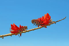 Counterpart Coral flowers Erythrina on a branch over background Royalty Free Stock Image