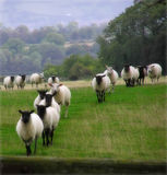 Counting Sheep. Sheep on the landscape taken in Somerset England Royalty Free Stock Photography