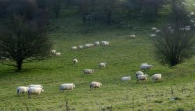 Counting sheep 2. Sheep on the move royalty free stock photos