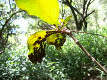 Countless ticks on leaf in Swaziland Royalty Free Stock Photography