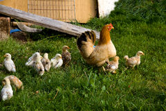 Countra-Art auf dem Bauernhof, glückliche Henne auf dem Bauernhof Stockfotos