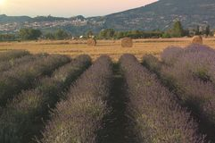 Country of Assisi with lavender field at sunset in Umbria Royalty Free Stock Photos
