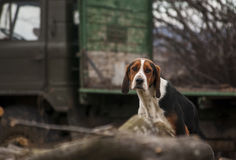 Country beagle dog. In village, cut woods, logging truck as background stock photography