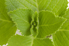 Country Borage, Indian Borage, Coleus amboinicus Lour (Plectranthus amboinicus (Lour.)) Stock Image