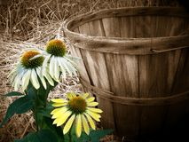 Country Canvas. Canvas effect on an old bushel basket with cone flowers image royalty free illustration