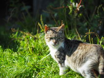 Country cat Stock Image