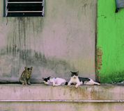 Country cats lazing around the village house Stock Photography
