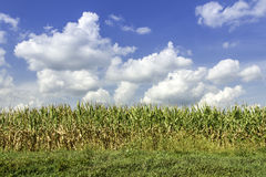Country corn field stock photography