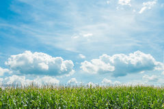 Corn field blue sky and clouds. Green corn field ready for harvest growing in a farm field with background of beautifull blue clouds sky Royalty Free Stock Image
