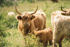 Country Cows. Cows in the paddock during the day Royalty Free Stock Photography