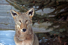 Country Coyote Stock Photo