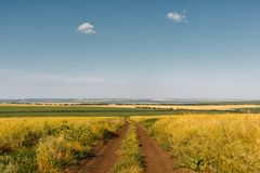 Country dirt road among fields of agricultural plants. Blue sky with feathery clouds. Horizontally framed shot. Country dirt road among fields of agricultural royalty free stock photos