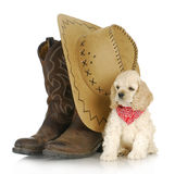 Country dog. American cocker spaniel puppy sitting beside western boots and hat on white background - 8 weeks old Stock Images