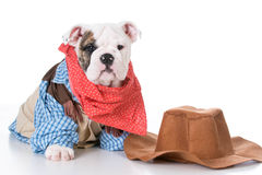 Country dog. Cute english bulldog puppy wearing western cowboy costume on white background Royalty Free Stock Image