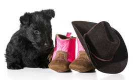 Country dog. Scottish terrier puppy sitting beside western boots and hat isolated on white background stock images