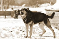 Country dog on snow background. The photo of country dog on snow background. Sepia Stock Photo