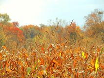 A Country Fall Corn Feild Stock Photo