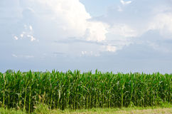 Country Farm Corn Field Business Royalty Free Stock Photography