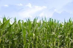 Country Farm Corn Field Business Stock Photography