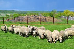 In the country. Flock of grazing sheep in the country Royalty Free Stock Photos