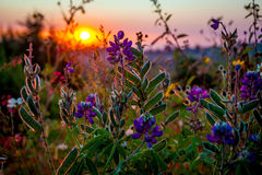 Country flowers sunset. Beautiful close up flowers at daylight Royalty Free Stock Image
