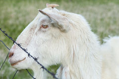 Country Goat Royalty Free Stock Image