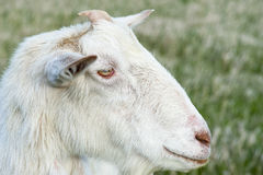Country Goat Royalty Free Stock Photography