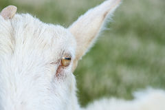 Country Goat Royalty Free Stock Photo