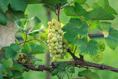 Country grape Stock Image