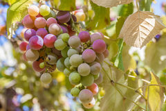 Country Grapes Stock Photo