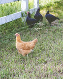Country Hens Stock Images