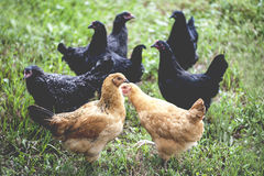 Country Hens Royalty Free Stock Photography