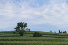Country Hillside. Tree on a well-groomed, green hill featuring rows of a cultivated crop.  Wispy white clouds against a very blue sky Stock Image