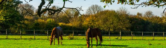 Country horse grazing in a pasture, farm fenced, rural environm royalty free stock image