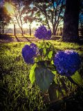 Country Hydrangea. Country Farm Flower Royalty Free Stock Photo