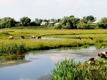 Country Idyll. On the Bank of the River near the village of grazing cows Stock Images