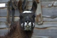Country lama Royalty Free Stock Image