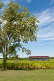 Country landscape with barn and tobacco  field. Royalty Free Stock Images