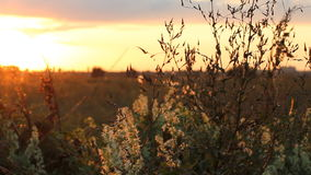 Country landscape - beautiful sunset in the summer field. Wild plant on a background of sunset sky stock video footage