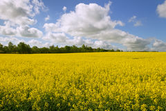 Country landscape with canola. Stock Image