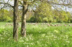 Country landscape with flock of sheep in spring Stock Image