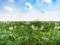 Flowering potato plant on field in France. Country landscape - flowering potato plant on field near commune L'Epine Marne in summer day in Champagne region of Royalty Free Stock Photos