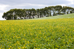 Country Landscape of Flowing Yellow Flowers Royalty Free Stock Photos