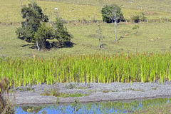 Country landscape with lake and cattail Royalty Free Stock Image
