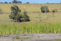 Country landscape with lake and cattail. ITATIBA, SP, BRAZIL - AUGUST 8, 2015 - Country landscape with lake and cattail, typical plant of wetlands that spread stock image