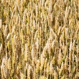 Ripe wheat ears on field in Bavaria. Country landscape - ripe wheat ears on field close up in Bavaria in summer day in Germany Royalty Free Stock Images