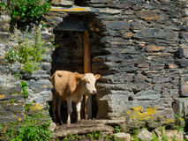Country landscape in Svaneti. Cows are hiding from the sun in abandoned houses in Ushguli, Svaneti, Georgia Stock Image